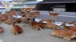 1000 DEER TAKE OVER ROADS - Trophy Hunting and Fishing