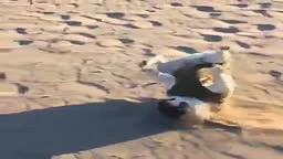 Bulldog FALLS in slow motion