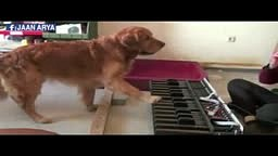 WATCH Dog with Musical ears play the piano
