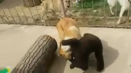 Lil Bear Wrestles with a Dog