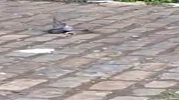 Rat vs. Pigeon .. Find Out Who WINS