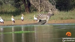 WOW!  Zebra Barely ESCAPES Clutches Of Vicious Crocodiles!