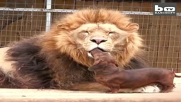 Just a sausage dog licking the face of a MASSIVE LION
