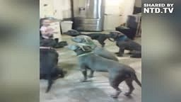 OMG! 4 year old little girl feeding and controlling 6 pitbulls