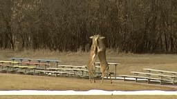 2 Deer Fight And One Deer Gets Dropped Knocked Out Cold!