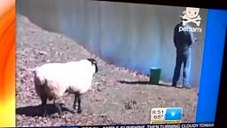 Angry Sheep Pushes Man Into Water